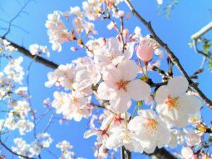 加賀公園周辺の桜